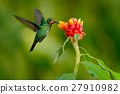 hummingbird Green-crowned Brilliant, Heliodoxa 27910982