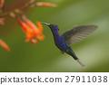 Big blue hummingbird Violet Sabrewing flying 27911038