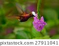 Snowcap, Microchera albocoronata, rare hummingbird 27911041