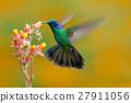 Hummingbird Green Violet-ear, Colibri thalassinus 27911056