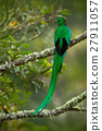 Green and red bird Resplendent Quetzal 27911057