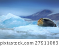 Bearded seal, lying sea animal on ice in Arctic 27911063
