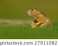 European Ground Squirrel, Spermophilus citellus 27911082