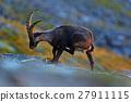 Antler Alpine Ibex, Capra ibex, scratching animal 27911115