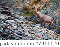 Antler Alpine Ibex, Capra ibex, nature habitat 27911120