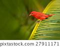 Summer Tanager, Piranga rubra, red bird in nature 27911171