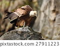 Griffon Vulture, Gyps fulvus, big birds of prey 27911223