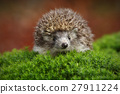 West European Hedgehog in green moss 27911224