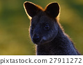 Swamp wallaby, Wallabia bicolor, is a small  27911272