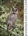 Long-eared Owl sitting on the branch in the fallen 27911304