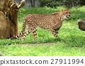 獵豹 納米比亞 多摩動物園 27911994