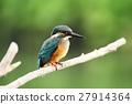 翠鳥 普通印度翠鳥 鳥兒 27914364