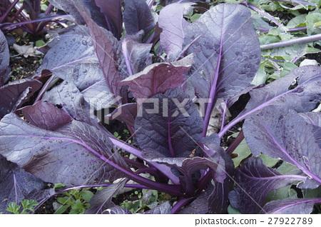 Komatsuna紫色 27922789