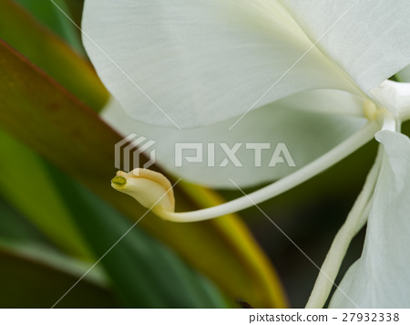 Pollen of White Ginger Blooming 27932338