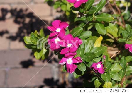 馬來西亞的花朵 27933759
