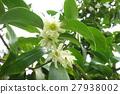 大茴香 花朵 花 27938002