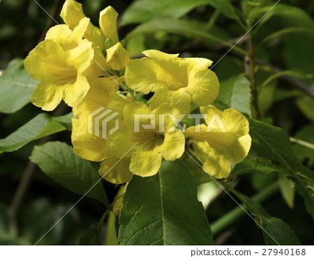 Yellow flower trumpet shaped shrub stock photo 27940168 pixta yellow flower trumpet shaped shrub 27940168 mightylinksfo