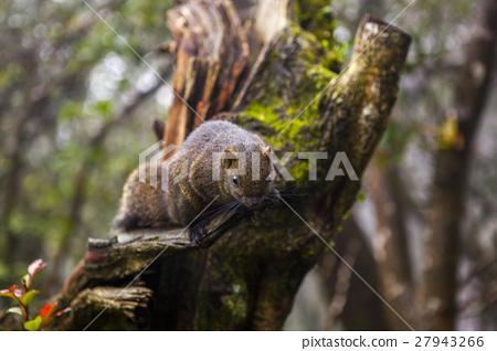 松鼠, 陽明山,Squirrels, Yangmingshan,リス、陽明山 27943266