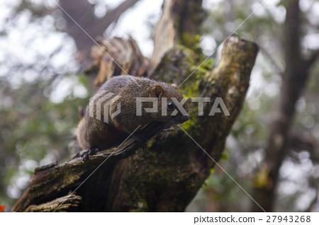 松鼠, 陽明山,Squirrels, Yangmingshan,リス、陽明山 27943268