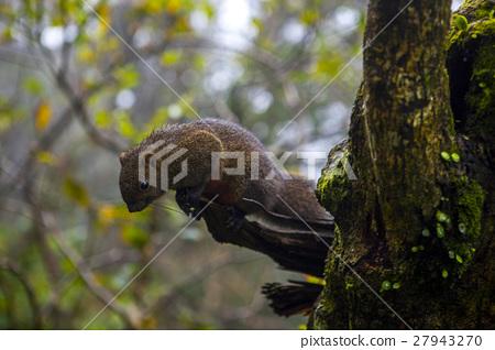 松鼠, 陽明山,Squirrels, Yangmingshan,リス、陽明山 27943270