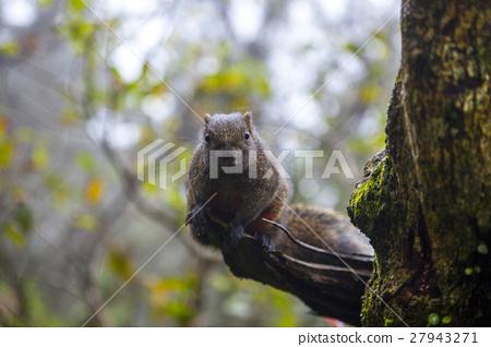 松鼠, 陽明山,Squirrels, Yangmingshan,リス、陽明山 27943271