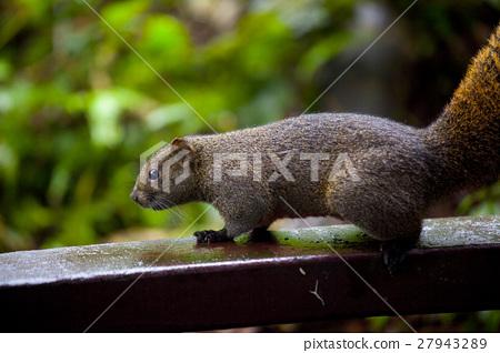 松鼠, 陽明山,Squirrels, Yangmingshan,リス、陽明山 27943289