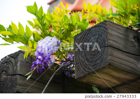 春天,紫藤花,紫藤,Wisteria flowers, wisteria,藤,バネ,spring, 27943333
