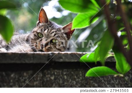 貓,牆上的貓,Cat, cat on the wall,猫、猫の壁、 27943503