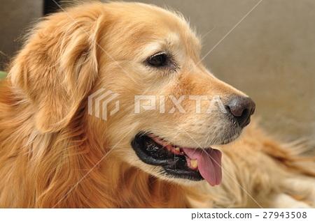 狗,金毛,狗,戈爾德 27943508
