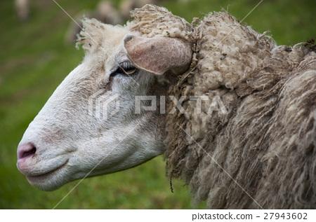 綿羊,羊,Sheep,羊、ヒツジ、 27943602