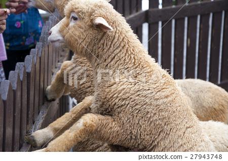 綿羊,羊,Sheep,羊、ヒツジ、 27943748