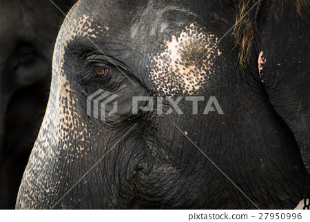 Old Elephant with rough skin face with crying eye. 27950996