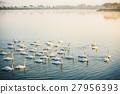 Swan on Lake 27956393