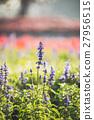 violet lavender flowers for nature background 27956515