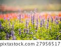 violet lavender flowers for nature background 27956517