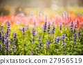 violet lavender flowers for nature background 27956519