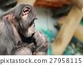 黑猩猩 外形 側臉 27958115