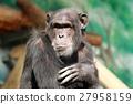 침팬지의 얼굴 27958159