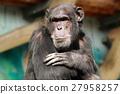 黑猩猩 動物 猴子 27958257