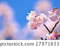 Cold cherry blossoms in the blue sky 27971633