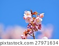 Cold cherry blossoms in the blue sky 27971634