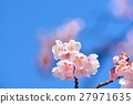 Cold cherry blossoms in the blue sky 27971635