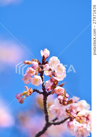 Cold cherry blossoms in the blue sky 27971636