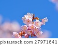 Cold cherry blossoms in the blue sky 27971641