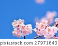 Cold cherry blossoms in the blue sky 27971643