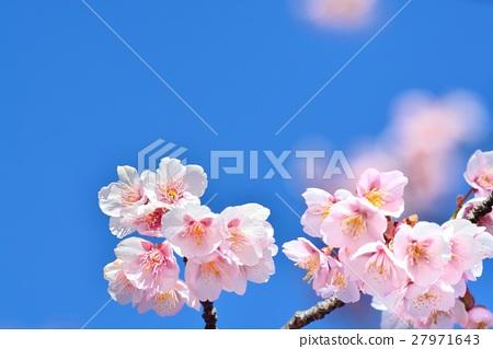 ดอกไม้,ท้องฟ้าเป็นสีฟ้า,ดอกซากุระบาน 27971643