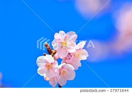Cold cherry blossoms in the blue sky 27971644