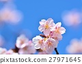 Cold cherry blossoms in the blue sky 27971645