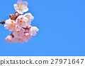 Cold cherry blossoms in the blue sky 27971647