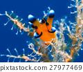 海參 海中珍寶魚 沖繩潛水 27977469